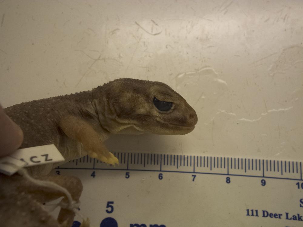 Image of <i>Nephrurus laevis</i>