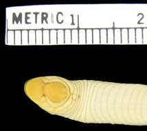 Image of Western Congo Worm Lizard