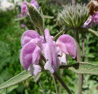 Image of <i>Phlomis <i>purpurea</i></i> purpurea
