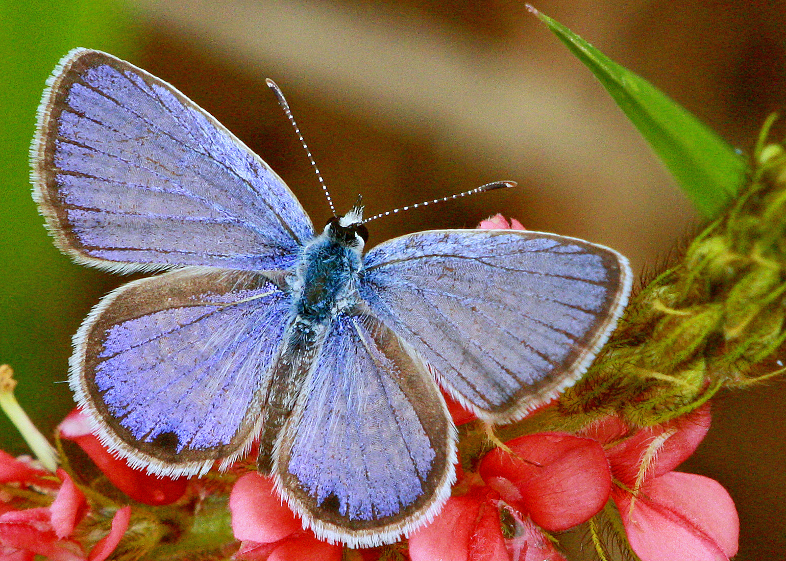 Image of Antillean Blue