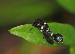 Image of <i>Zethus spinipes</i> Say 1837
