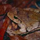 Image of Black-soled Frog