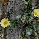 Image of <i>Portulaca hirsutissima</i> Cambess.