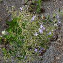 Image of <i>Declieuxia fruticosa</i> (Willd.) Kuntze