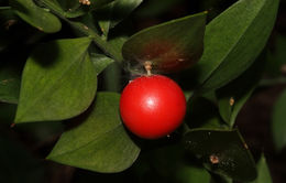 Image of Box Holly