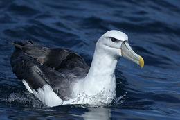 Image of White-Capped Albatross