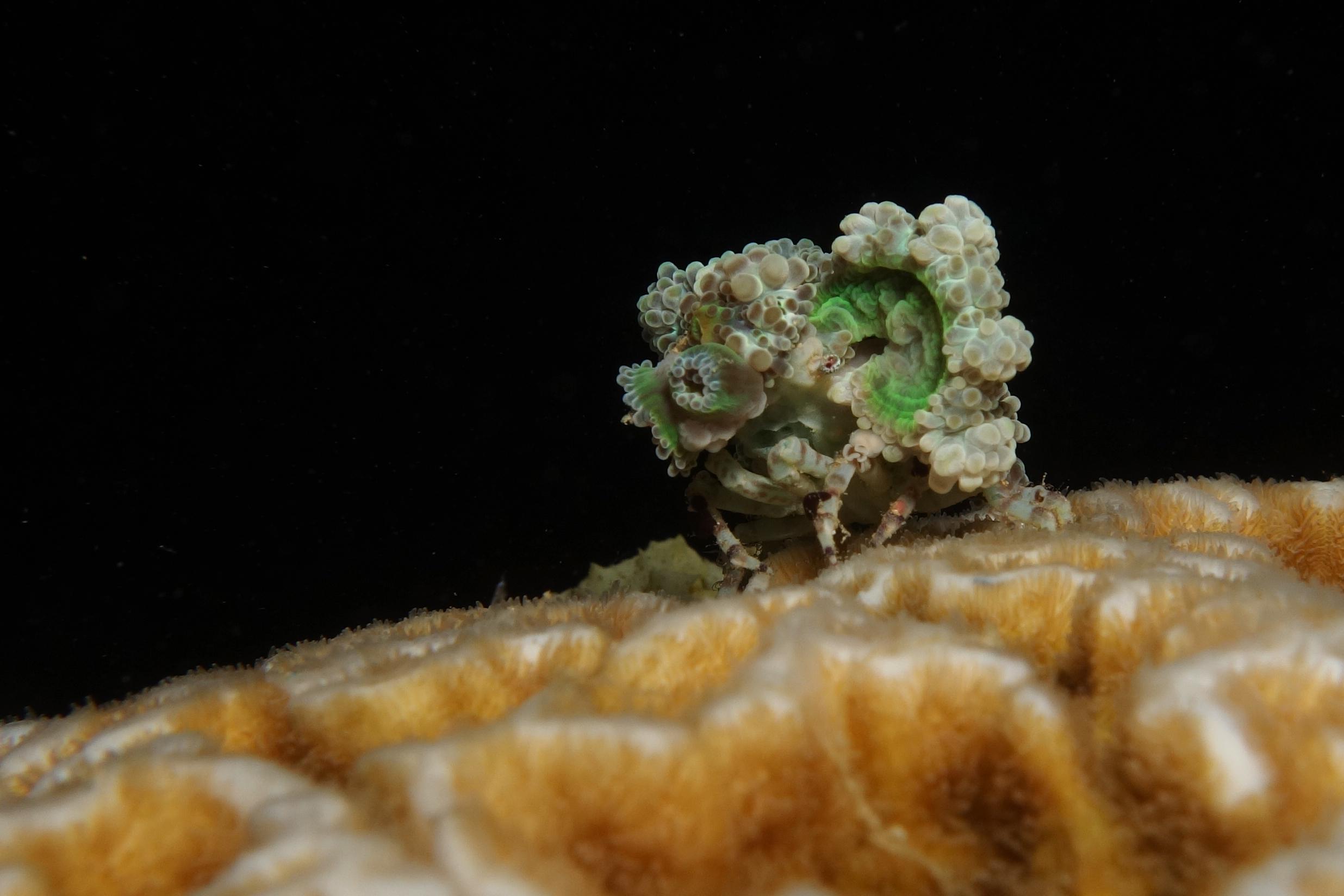 Image of Decorator crab