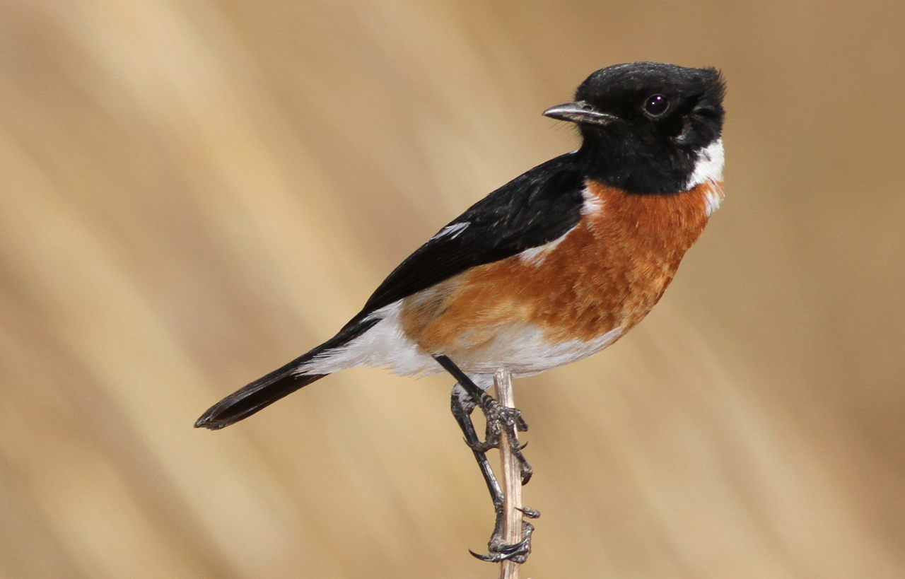 Image of African Stonechat