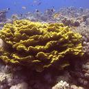 Image of Pagoda coral