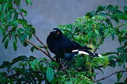 Image of Pied Currawong