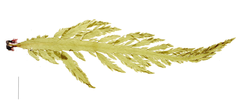 Image of <i>Desmarestia herbacea</i>