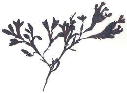 Image of <i>Silvetia compressa</i>