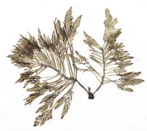 Image of <i>Bryopsis corticulans</i>