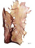 Image of <i>Pyropia lanceolata</i>