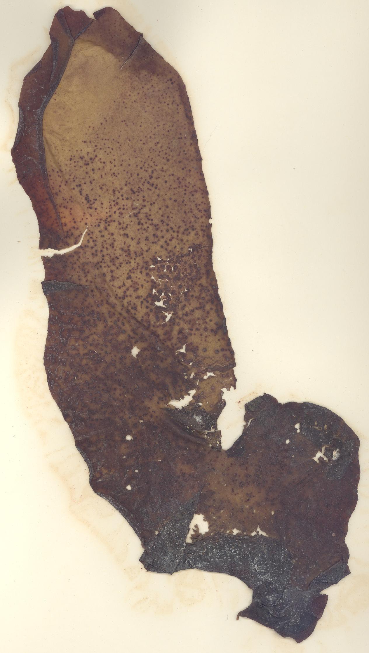 Image of <i>Mazzaella flaccida</i>
