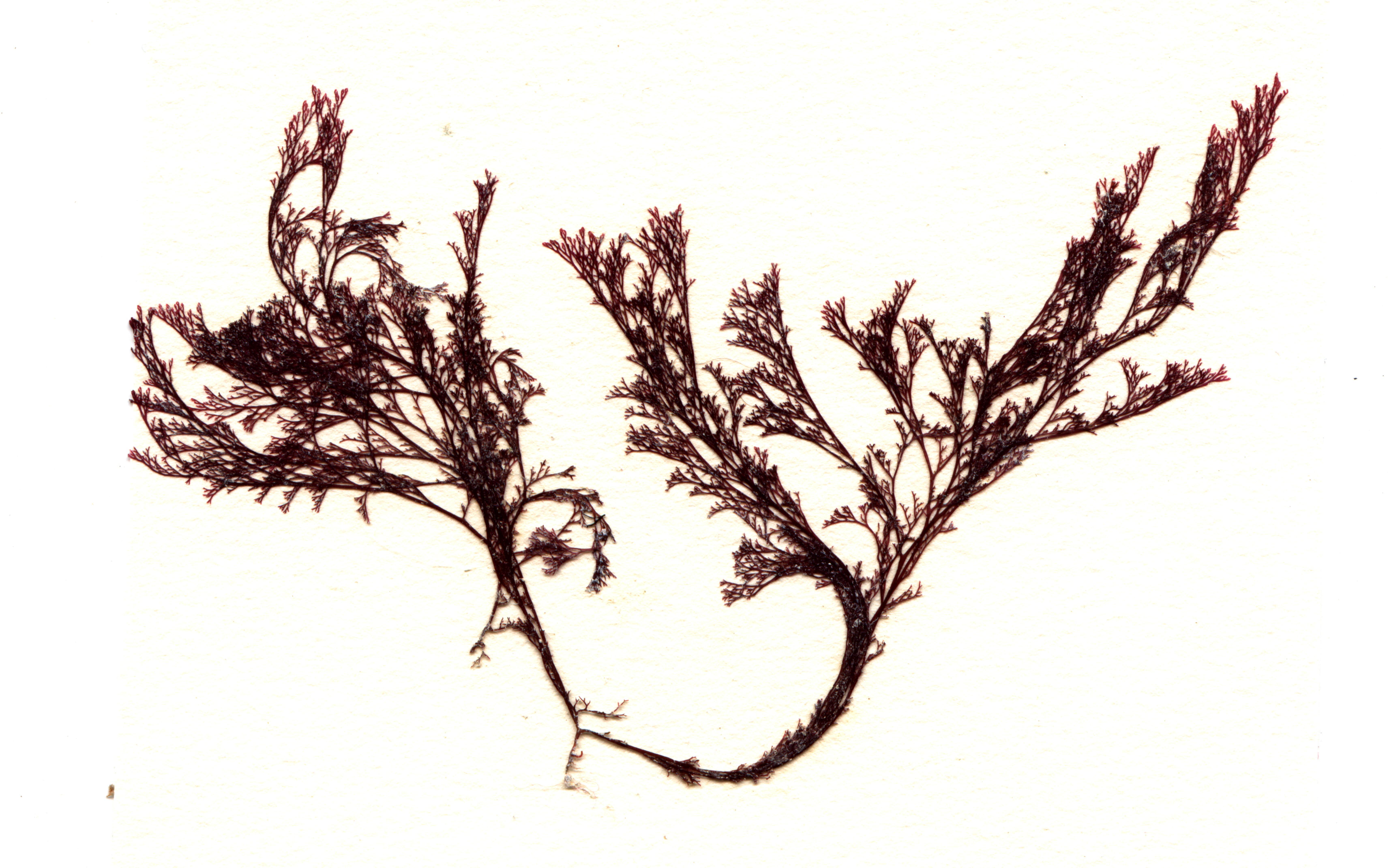 Image of <i>Microcladia borealis</i>