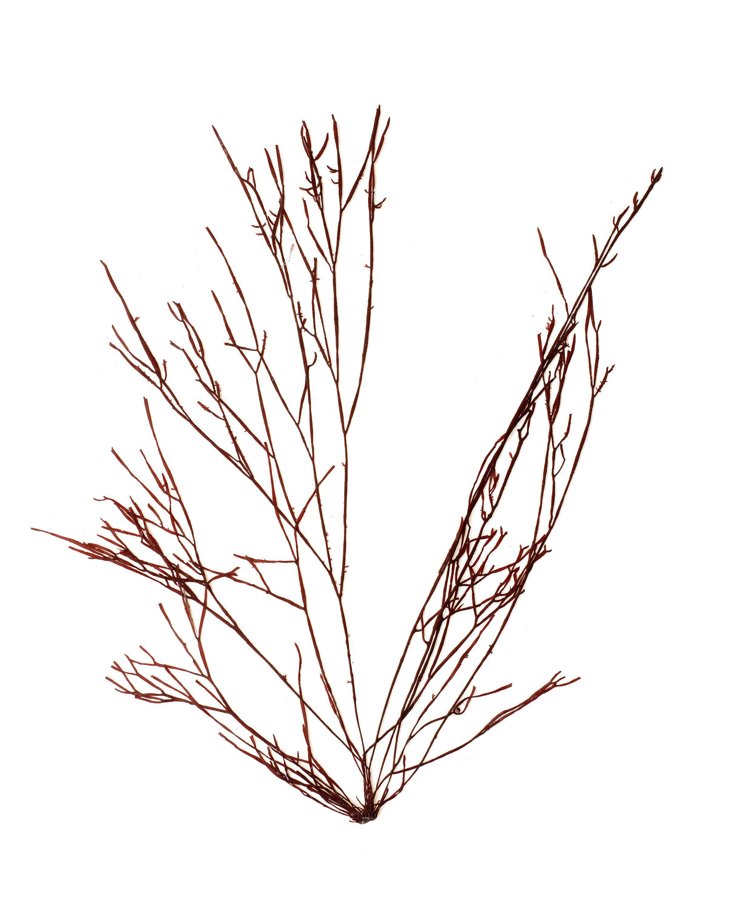 Image of <i>Prionitis filiformis</i>