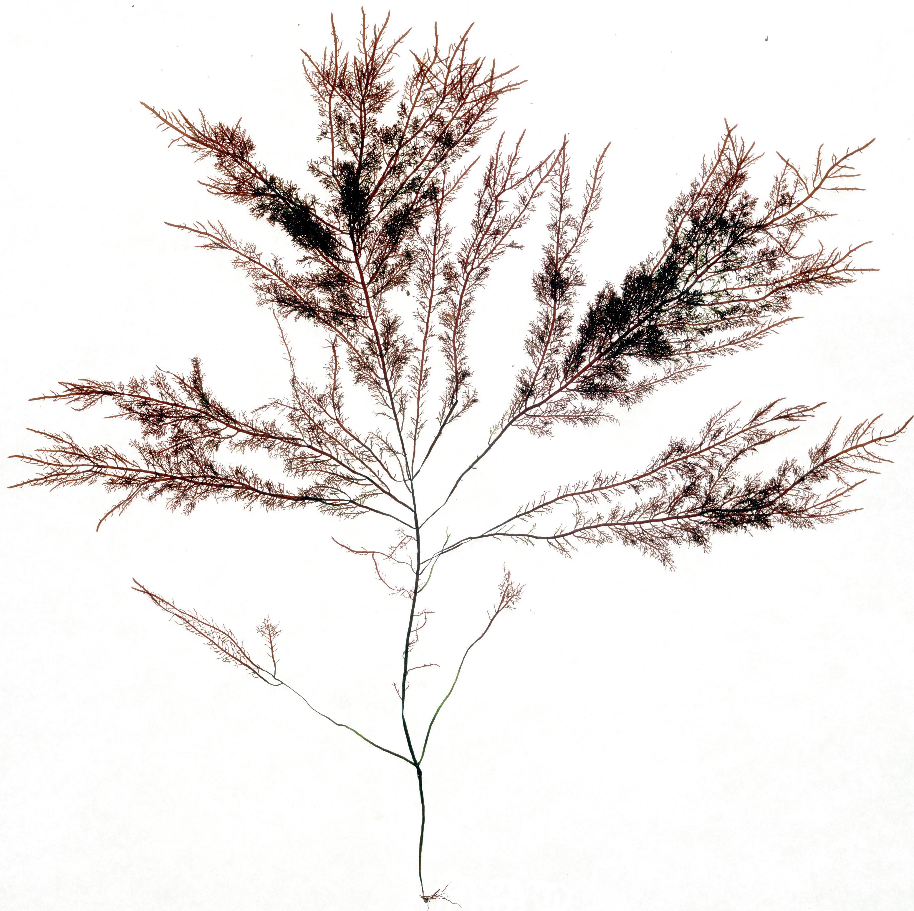 Image of <i>Gelidium purpurascens</i>