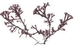 Image of <i>Mastocarpus jardinii</i>
