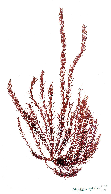Image of <i>Gloiosiphonia verticillaris</i>