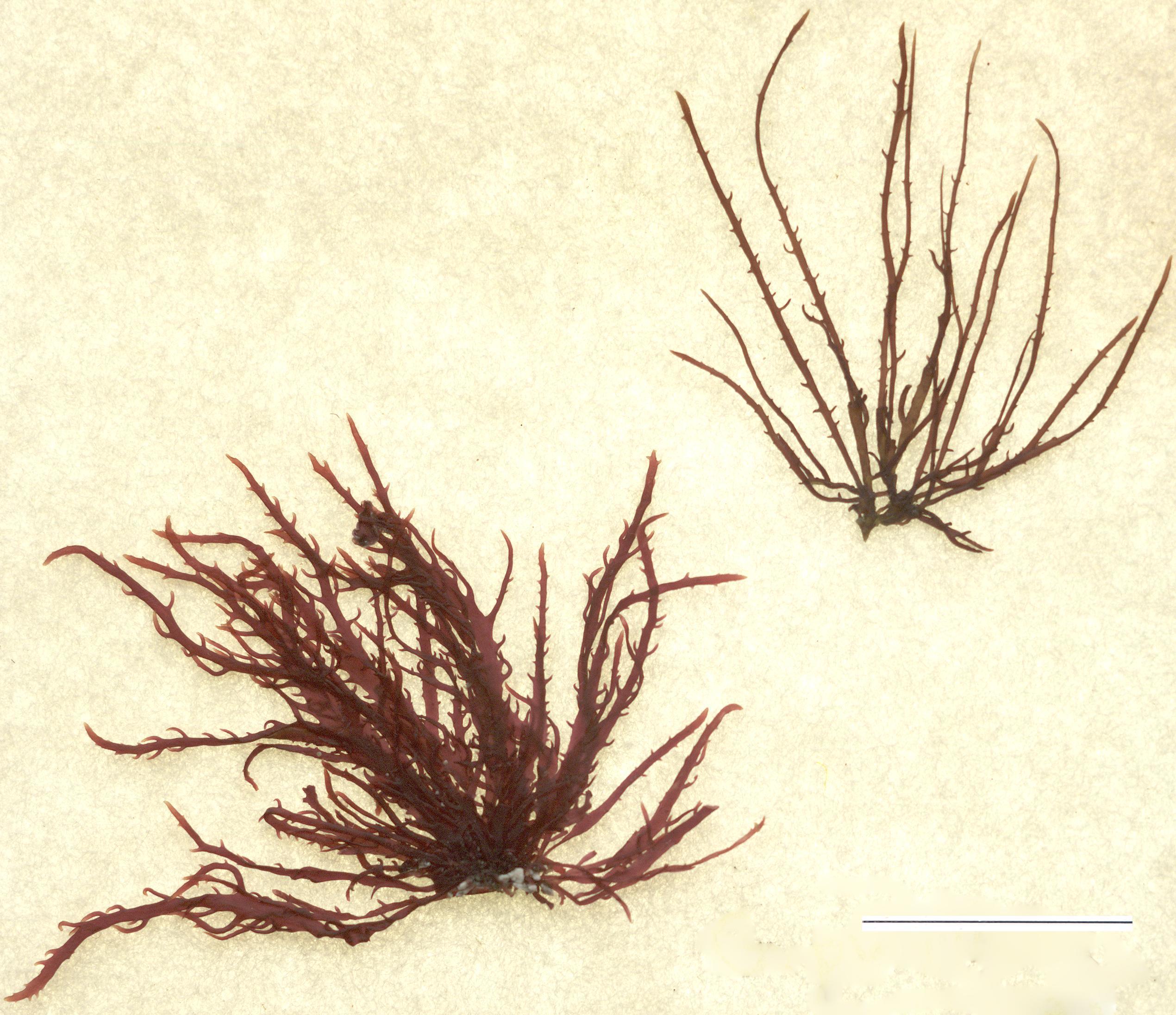 Image of <i>Gelidium pusillum</i>