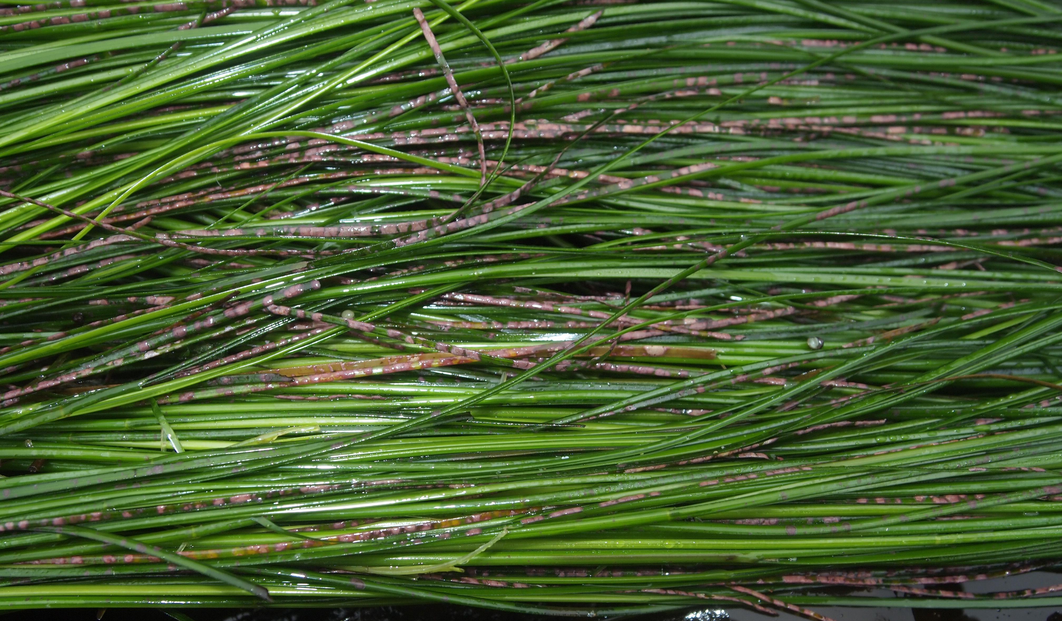 Image of <i>Melobesia marginata</i> Setchell & Foslie 1902