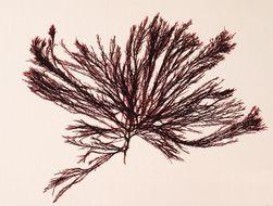 Image of <i>Gelidium coulteri</i>