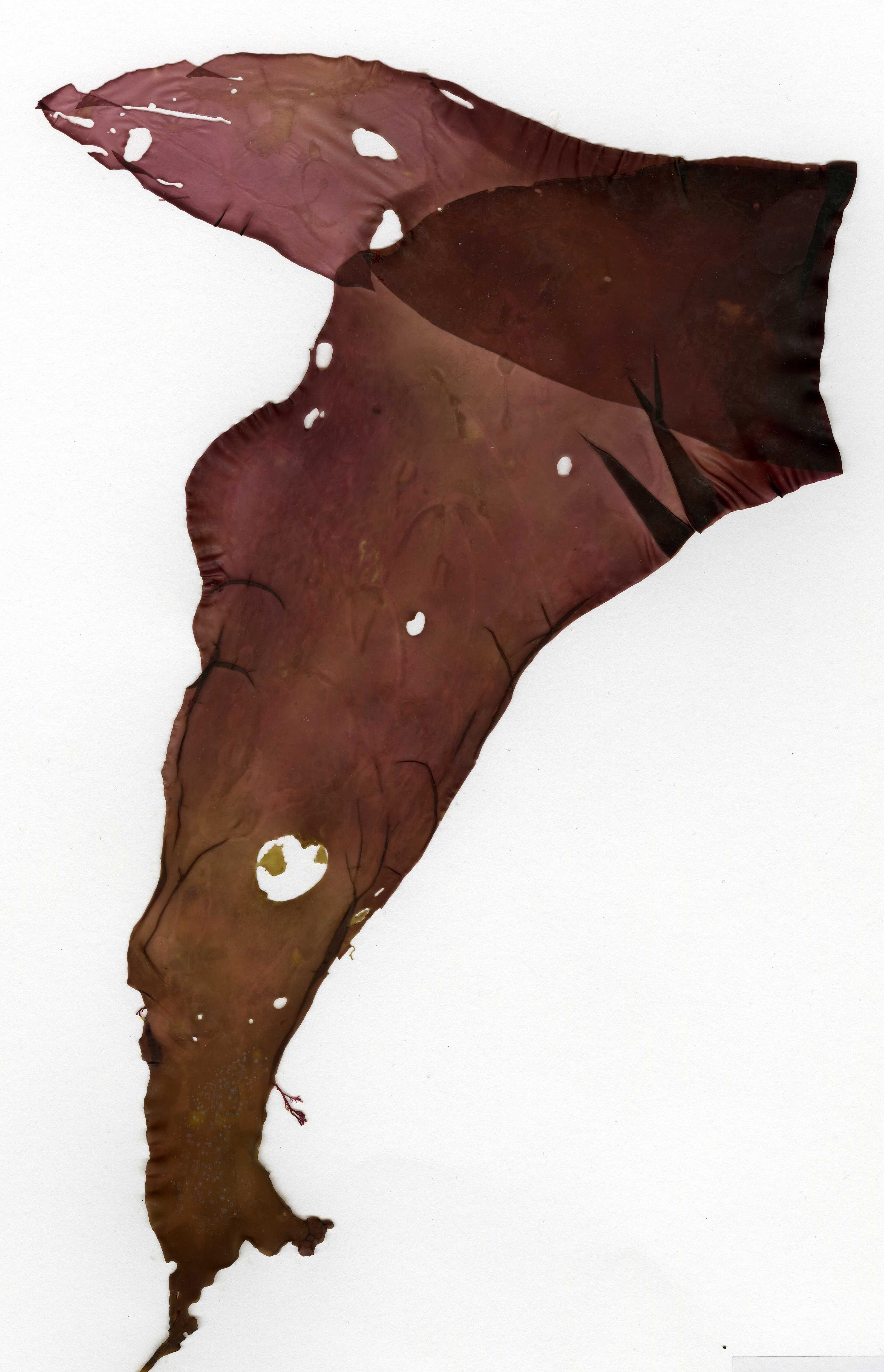 Image of Iridescent Seaweed