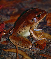 Image of Great Barred River-frog