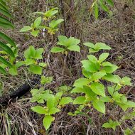 Image of <i>Chomelia ribesioides</i> Benth. ex A. Gray