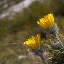 Image of <i>Hieracium morisianum</i>