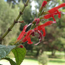 Image of <i>Salvia rufula</i> Kunth