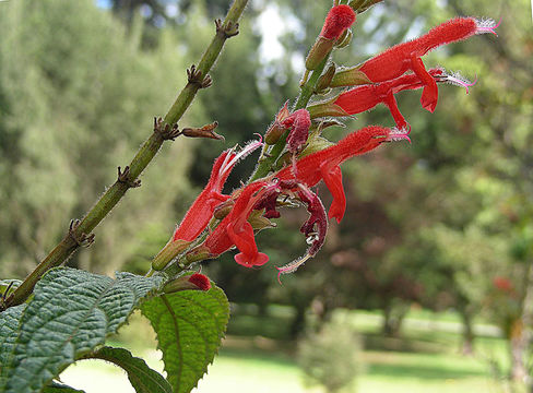 Image of <i>Salvia rufula</i> Kunth
