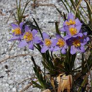 Image of <i>Vellozia caruncularis</i> Mart. ex Seub.