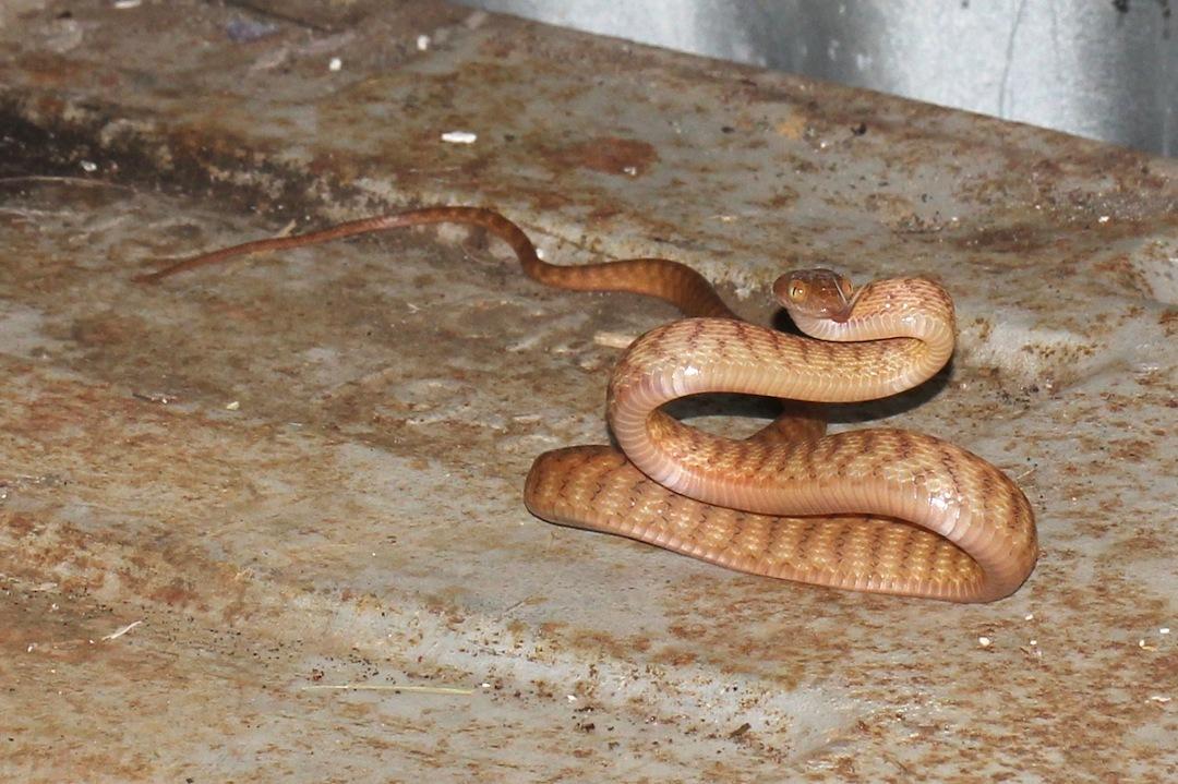 Image of Brown tree snake