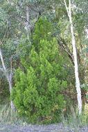 Image of Cypress Pine
