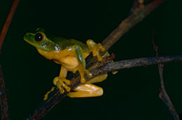 Image of Dainty Green Tree Frog