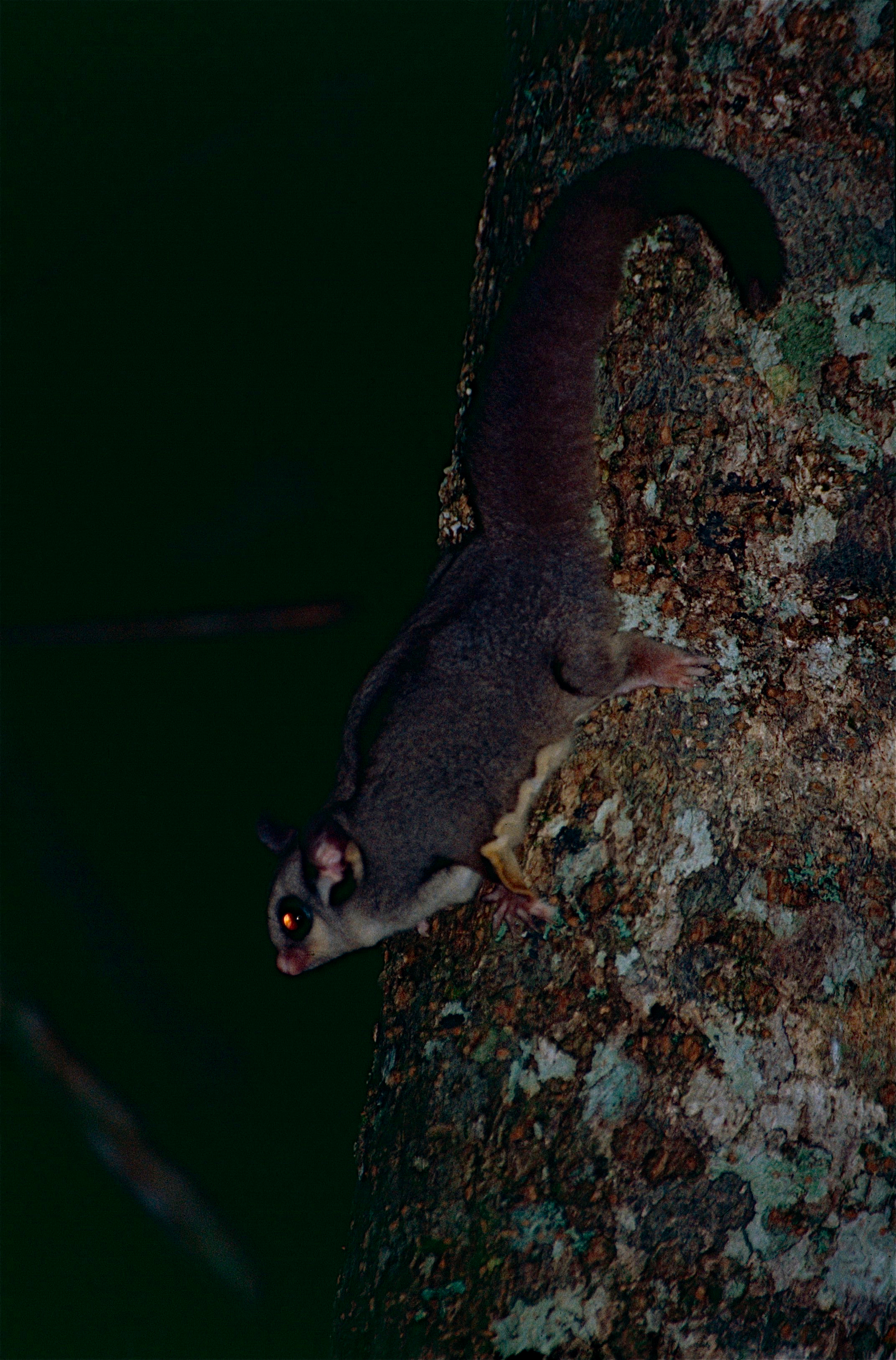 Image of Sugar Glider