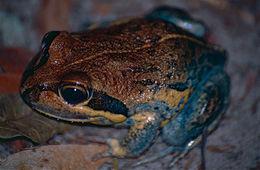 Image of Northern Banjo Frog