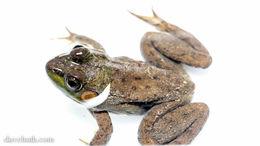 Image of Bronze Frog