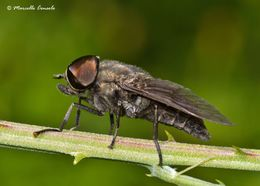 Image of dark giant horsefly
