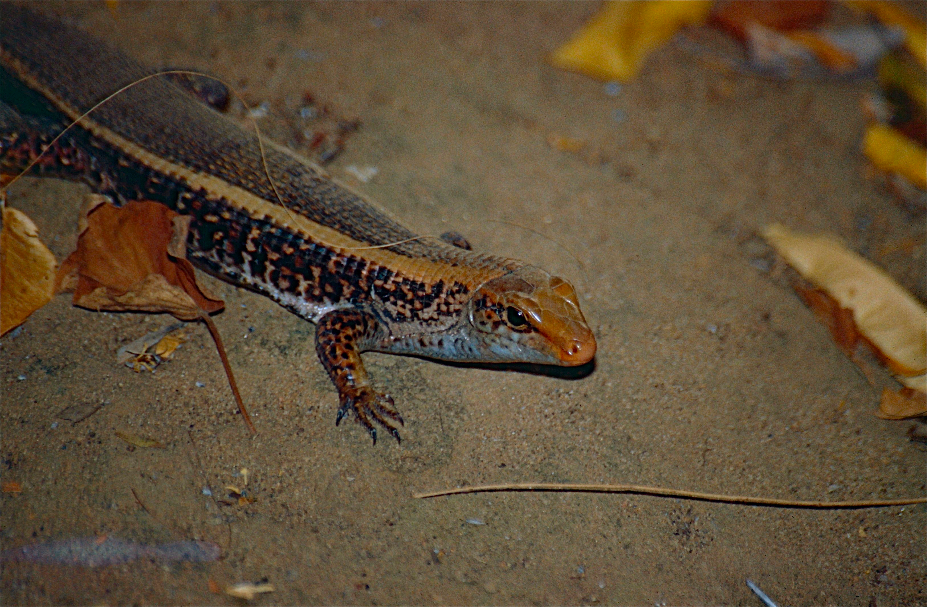 Image of western Girdled Lizard