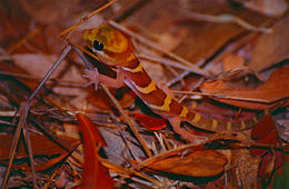 Image of Panther Gecko