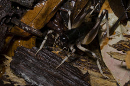 Image of <i>Paterdecolyus yanbarensis</i> (Oshiro 1995)
