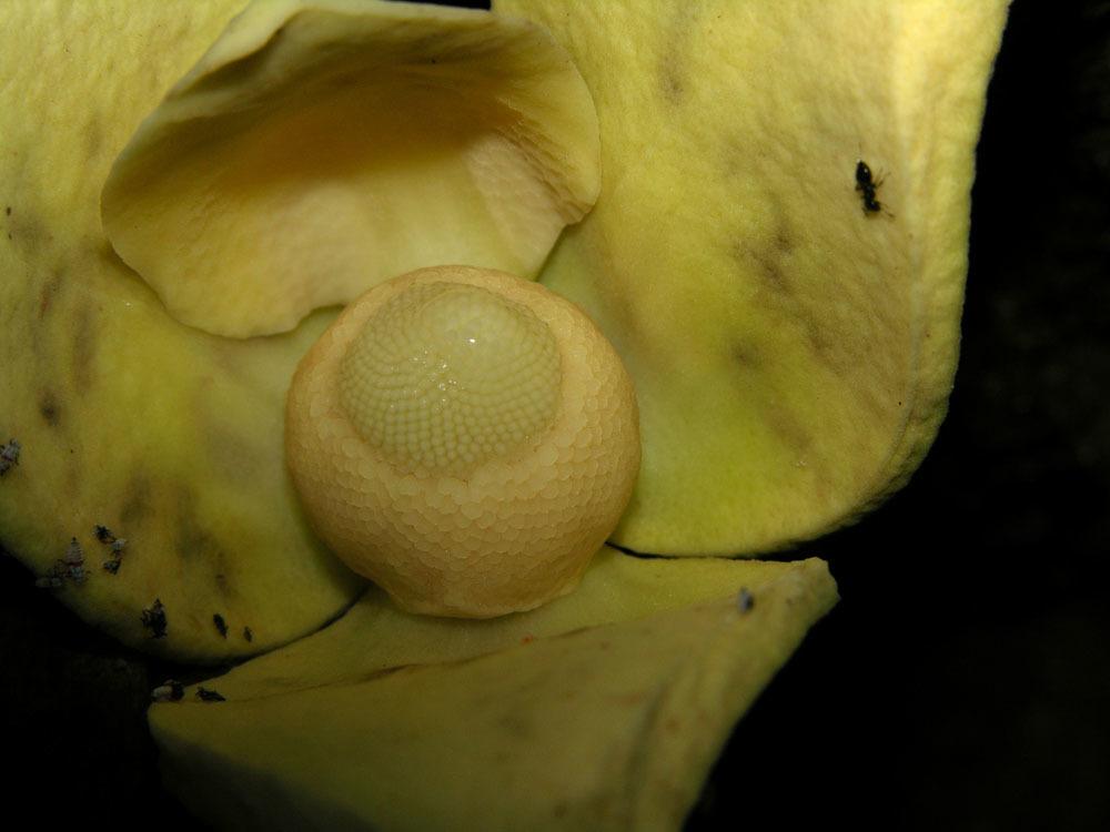 Image of soursop