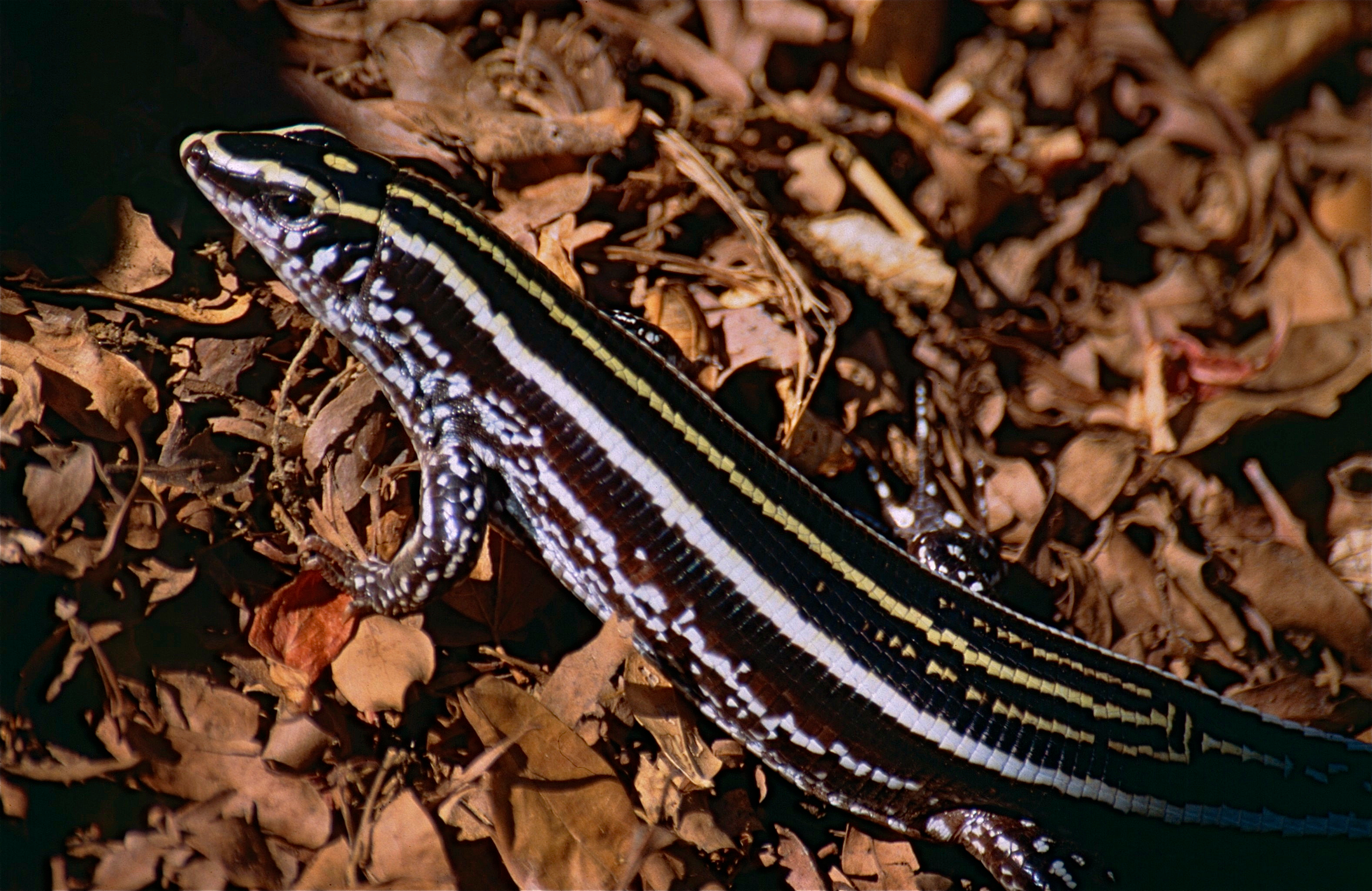Image of Three-lined Girdled Lizard