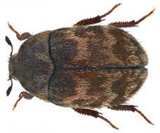 Image of <i>Attagenus civetta</i> (Mulsant & Rey 1868) Mulsant & Rey 1868