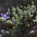 Image of <i>Campanula fragilis</i> ssp. <i>cavolinii</i> (Ten.) Damboldt