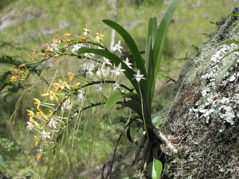 Image of <i>Rangaeris muscicola</i> (Rchb. fil.) Summerh.