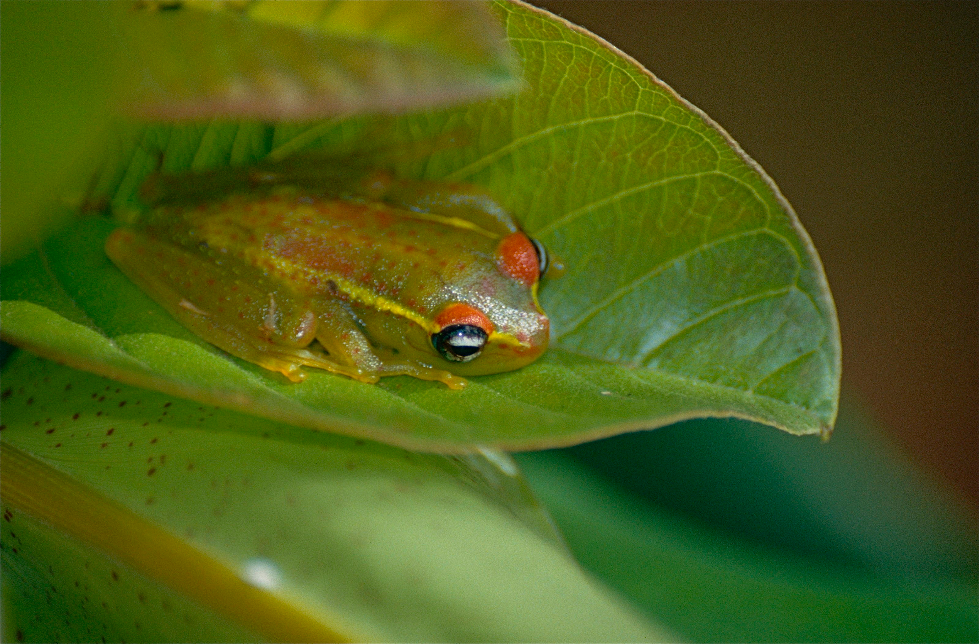 Image of Central Bright-eyed Frog